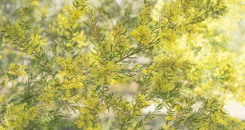 Australisches gebürtiges Akazienbaum Brisbane-Zweigpanorama stockfotos