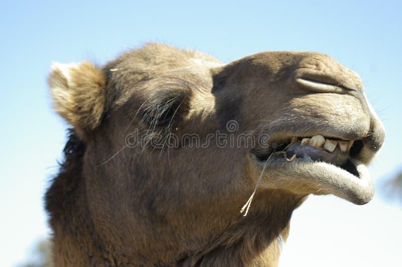 Australisches inländisches einzelnes gekrümmtes Kamel lizenzfreies stockfoto