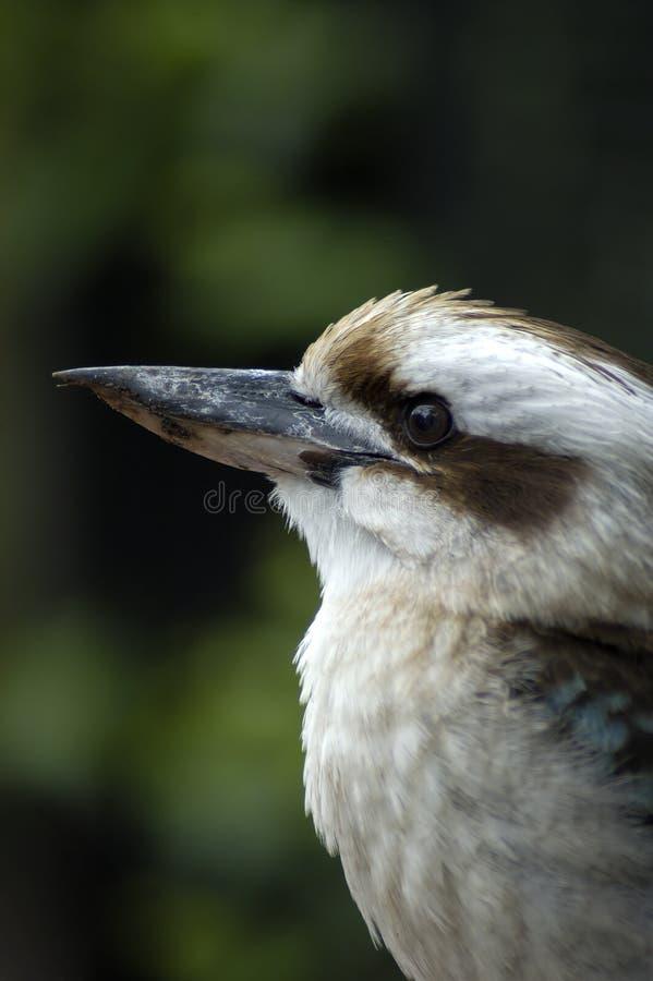 Australisches Kookaburra lizenzfreie stockfotografie