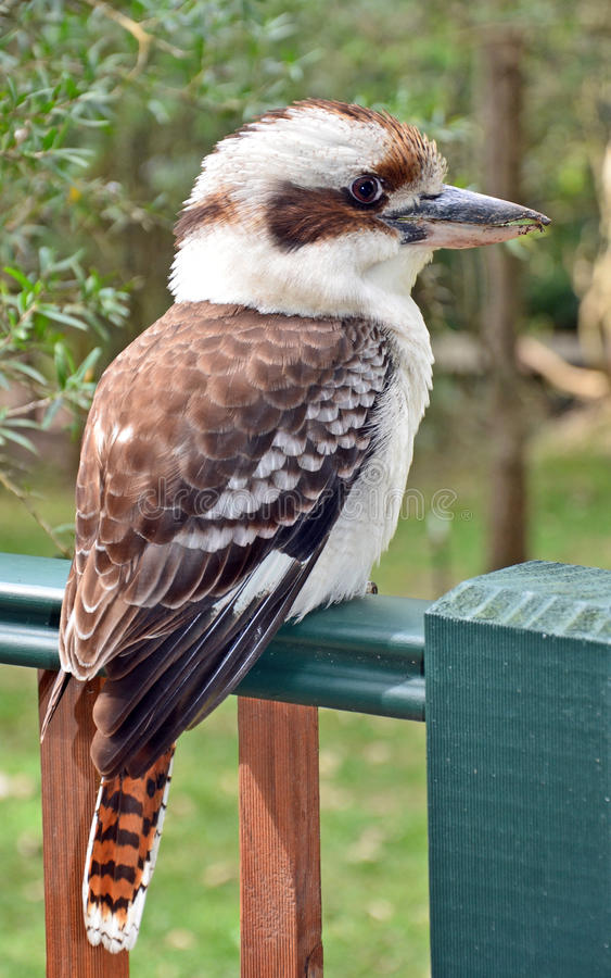 Australisches Kookaburra stockfotos