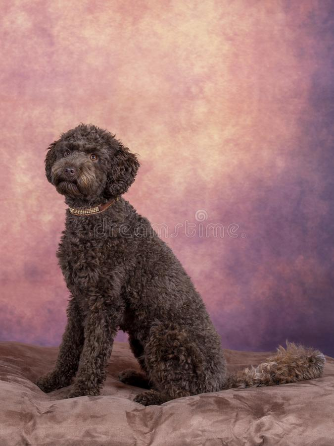 Australisches labradoodle Hündchenporträt stockfoto