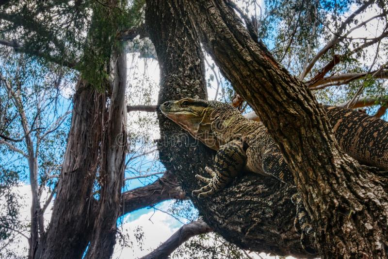 Australisches Spitzemonitor oder Spitze goanna Varanus varius, einen Baum kletternd, Queensland-Regenwald Australien stockbild