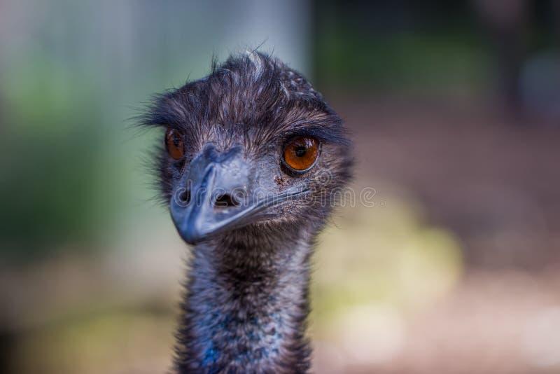 Australisk emufågelCloseup royaltyfri foto