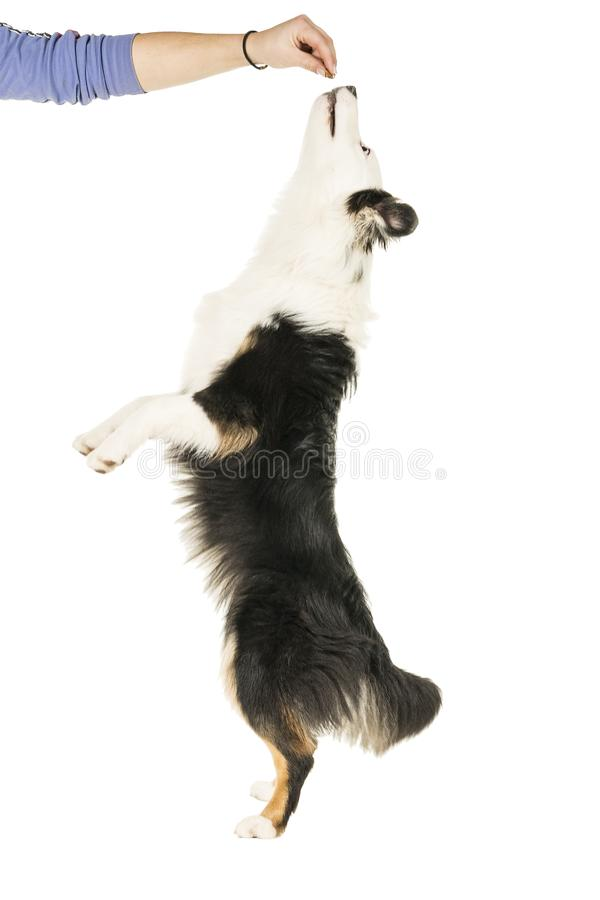 Australisk herdehund i vit bakgrund som hoppar upp för en fest arkivfoton