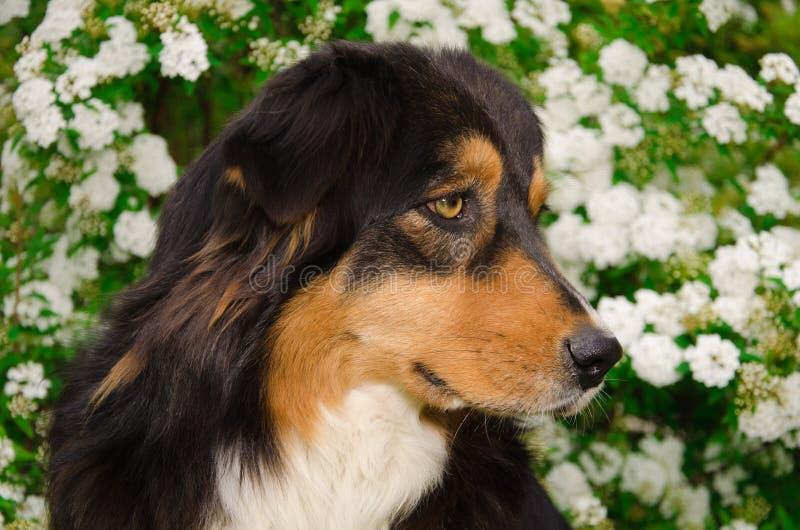 Australisk herdehund på de vita blommorna royaltyfri fotografi