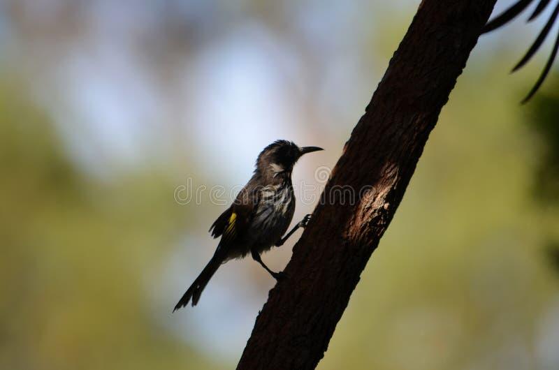 Australisk infödd fågel som matar på kryp i vår royaltyfria foton