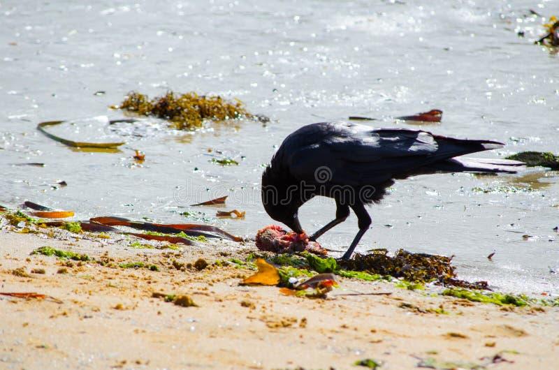 Australisk korpsvart galande som matar på död fisk från den smutsiga stranden arkivbild