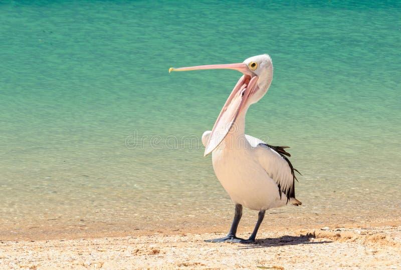 Australisk pelikan - apa Mia fotografering för bildbyråer