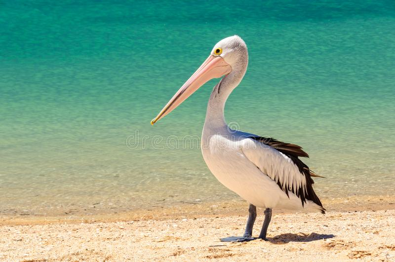 Australisk pelikan - apa Mia royaltyfria bilder