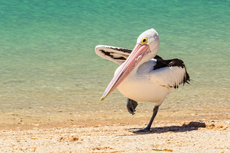 Australisk pelikan - apa Mia arkivfoton