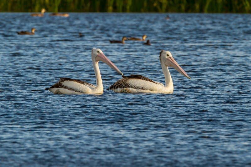 Australisk pelikan i sjön royaltyfri bild