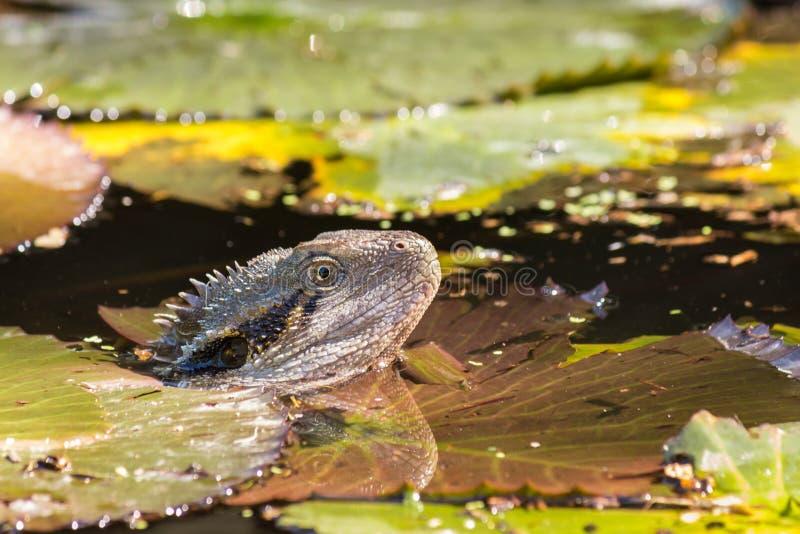 Australisk simning för vattendrake i dammet royaltyfri bild