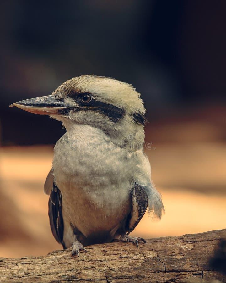 Australisk skrattfågel som ser något skarpt öga arkivfoton