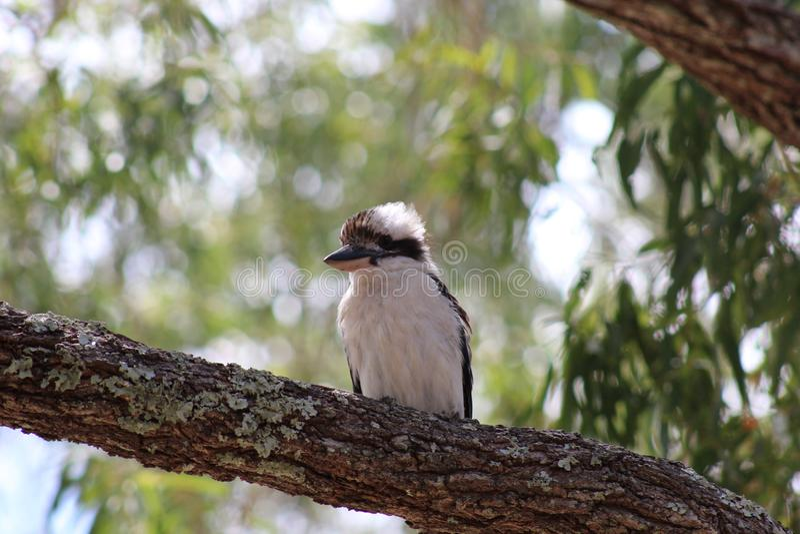 Australisk skrattfågelfågel i träd arkivfoton