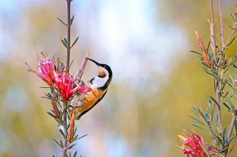 Australiska östliga Spinebill som matar på en blomma för bergjäkel arkivbilder