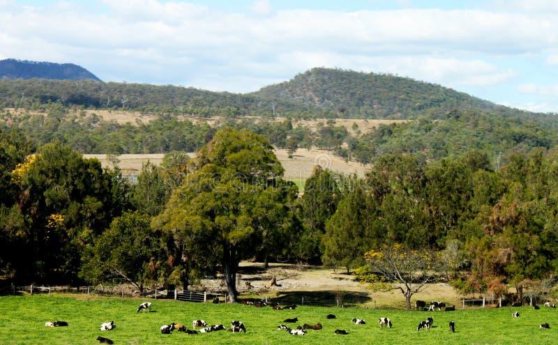 Australiska bakländer med blåa Mountians i avståndet och nötkreaturet som ner betar i äng under royaltyfria bilder