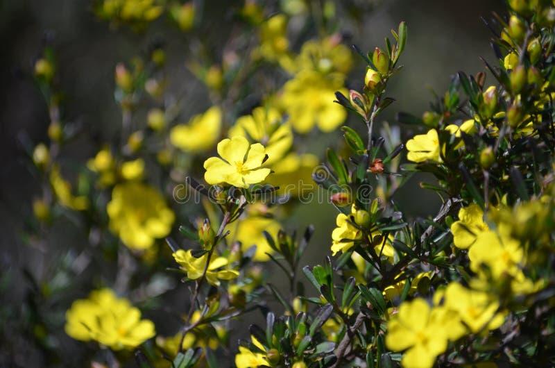 Australiska infödda Hibbertiamonogynablommor fotografering för bildbyråer