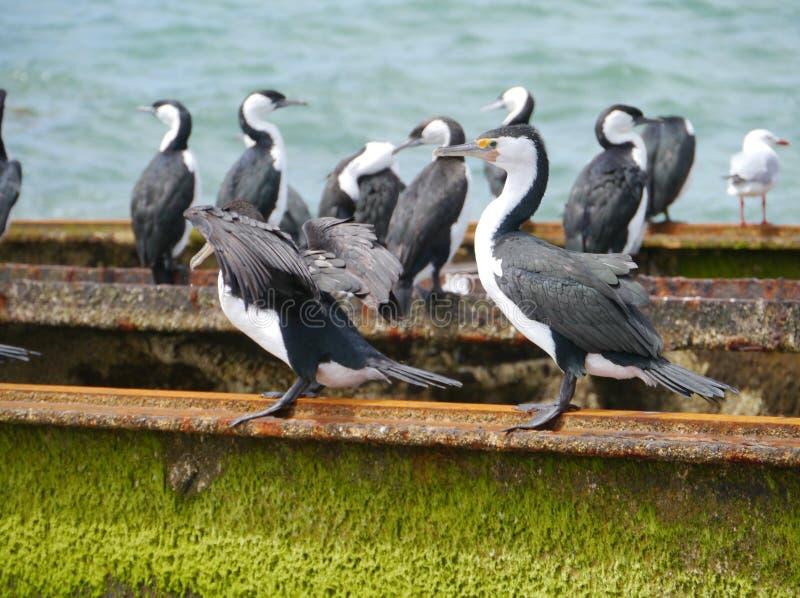 Australiska kormoran på stänger royaltyfri foto