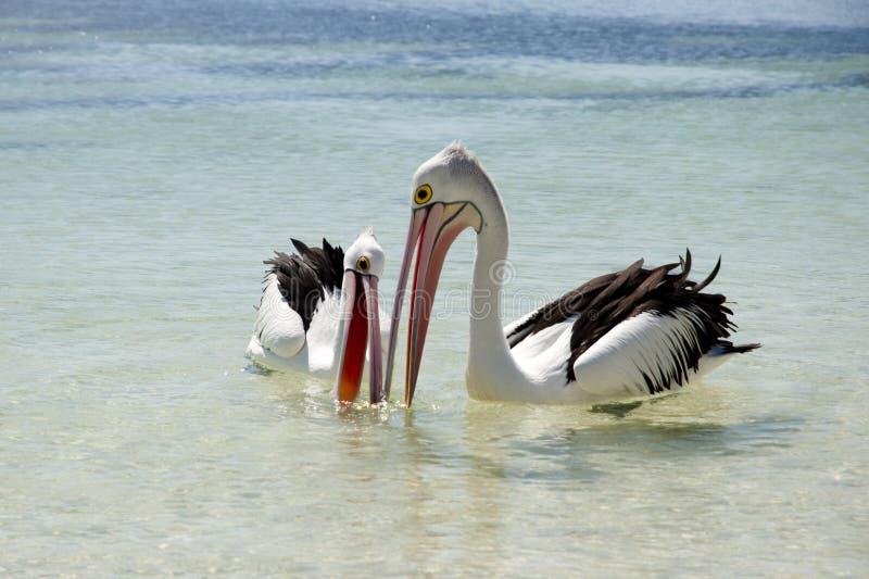Australiska pelikan - Rottnest ö arkivfoton