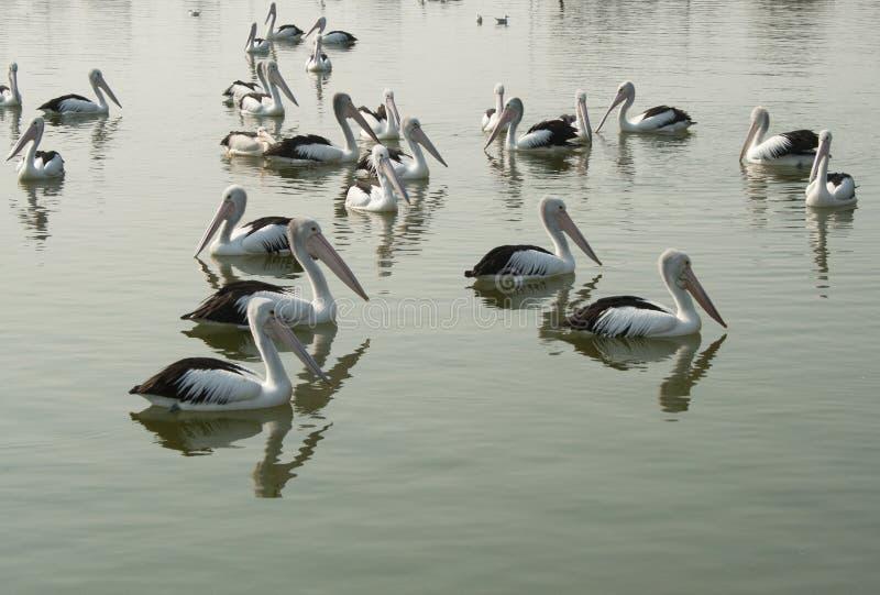 Australiska pelikan vadar i vattnet i sjöingång arkivfoto