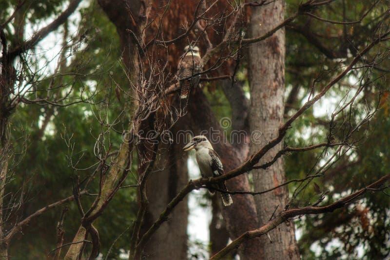 Australiska skrattfåglar i den gamla eukalyptusträdet fotografering för bildbyråer