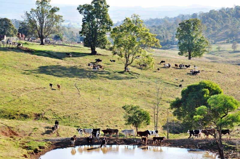 Australiskt beta för lantgårdnötkreatur betar av att bedöva landslandskap arkivfoto
