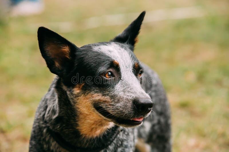 Australiskt nötkreaturhundslut upp den utomhus- ståenden Denna är avelnollan arkivfoton
