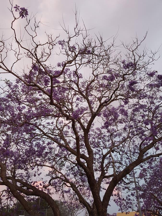 Australiskt purpurfärgat jakarandaträd på solnedgången arkivfoton