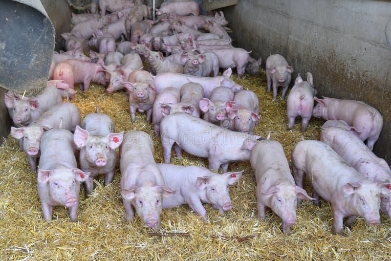 Austria, cultivo de cerdo fotos de archivo libres de regalías