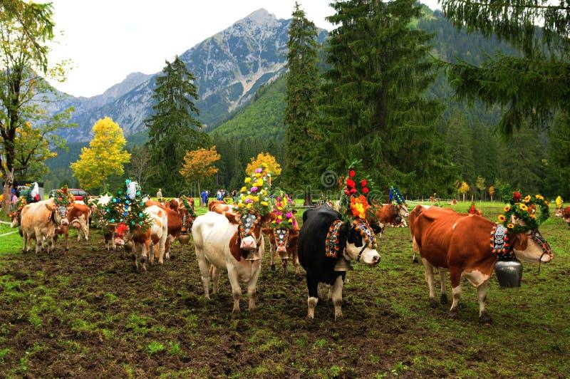 Austria: Ganadero y vacas que caminan cuesta abajo fotografía de archivo libre de regalías