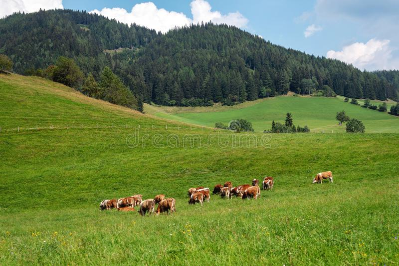 Austria Krowy na zielonym wysokogórskim paśniku na letnim dniu, niebieskie niebo, góra krajobraz zdjęcie stock