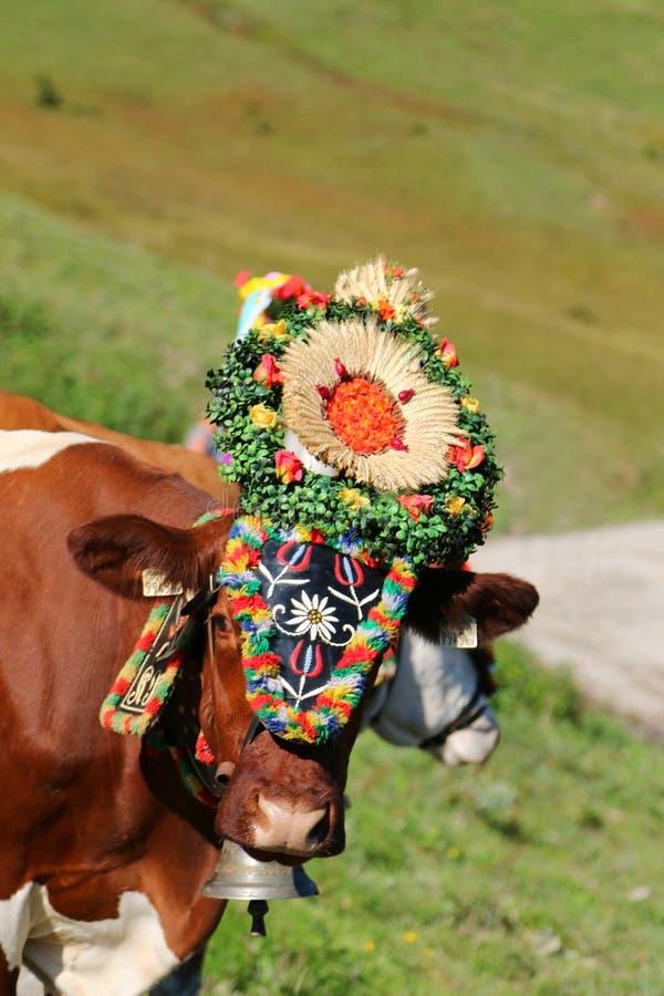 Austriacka krowa z pióropuszem podczas bydło przejażdżki w Tyrol, Austria zdjęcia stock