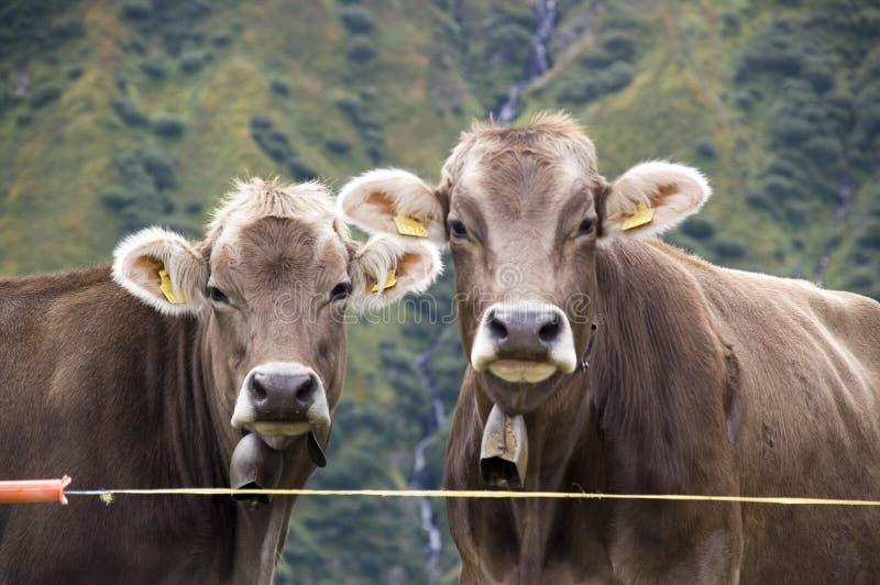 austriackie krowy zdjęcie royalty free