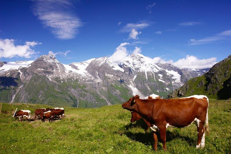 Austrian Alps. Cows in Austrian Alps, Europe stock photo
