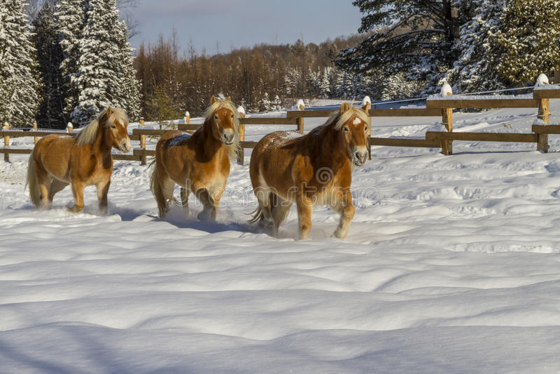 Austrian Haflinger Horses stock photo
