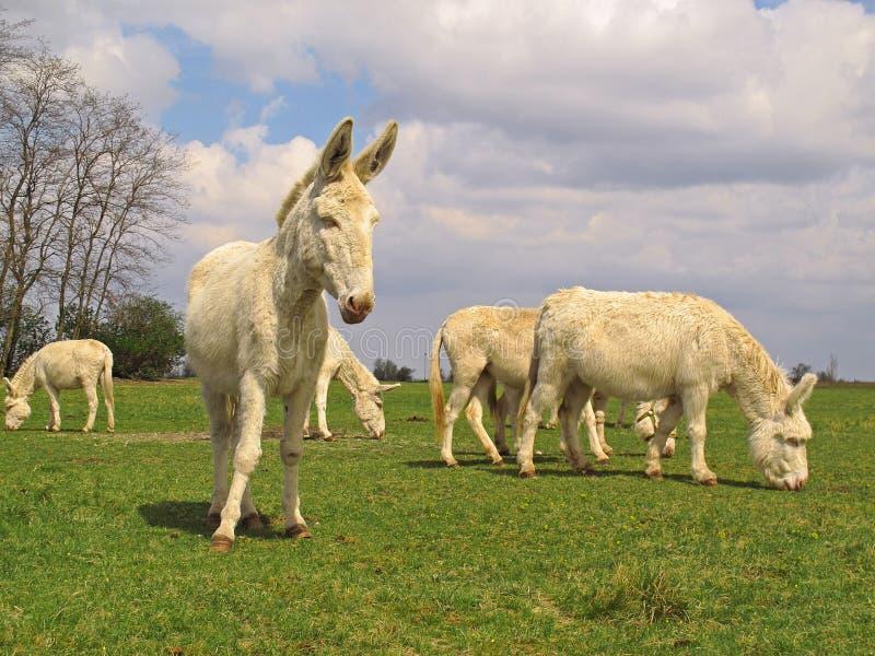 Austrian Hungarian White Donkeys stock photography
