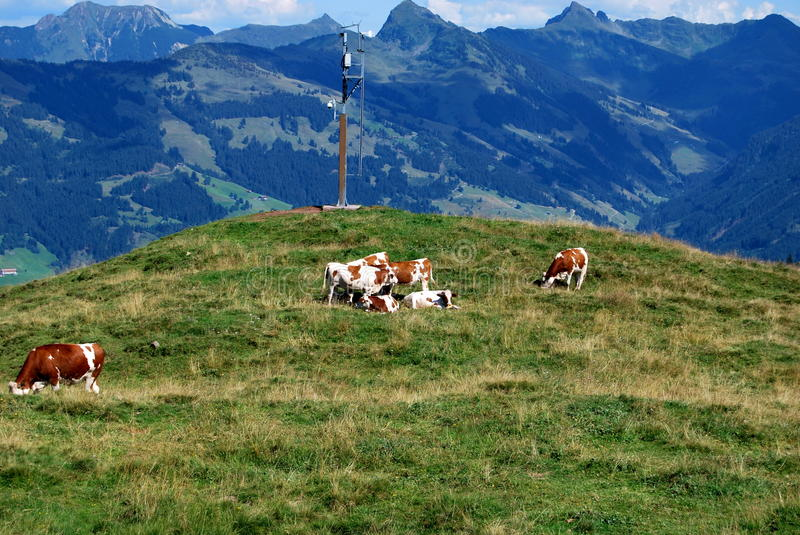 Austrian Mountains with cows royalty free stock images
