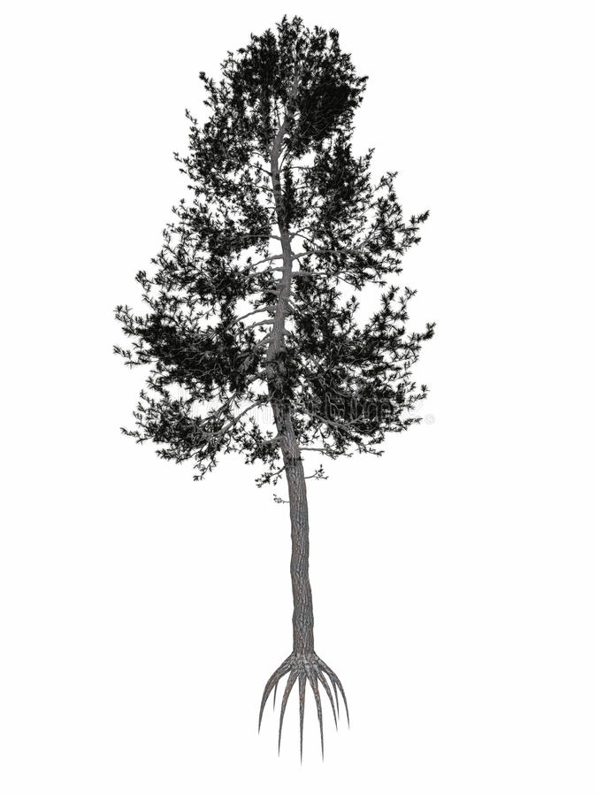 Free Austrian Or Black Pine, Pinus Nigra Tree - 3D Royalty Free Stock Images - 57149799