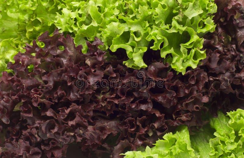 Auswahl von frischen gemischten Blättern des grünen Salats stockfoto