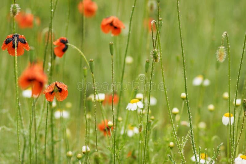 Autentisk blom- bakgrund av vita tusenskönor, röda vallmo, beaut arkivfoton