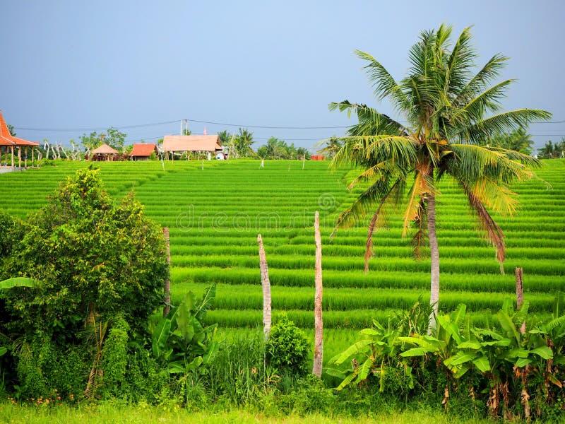 Autentisk gr?n risf?lt i Canggu i Bali p? en mulen dag royaltyfri fotografi