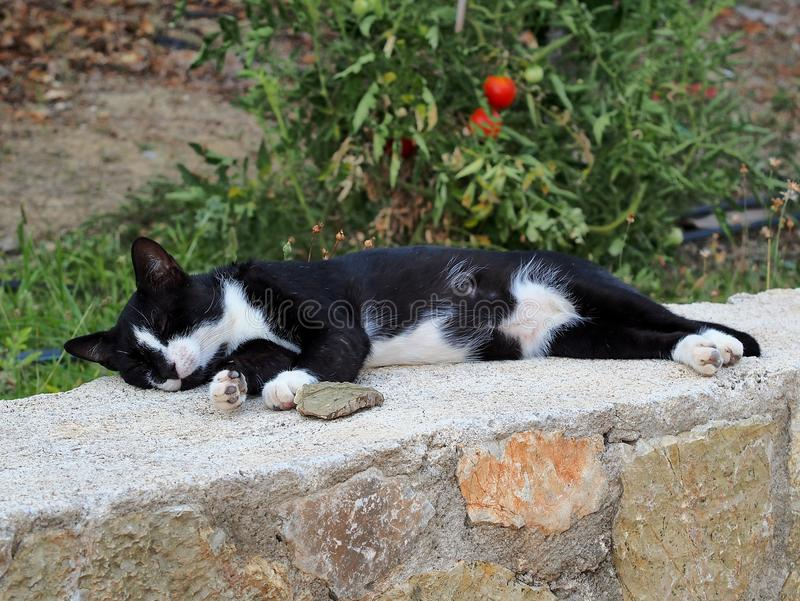 Authentic Black and White Cat Sleeping on Wall. Authentic, real world non-pedigree black and white tabby ally cat sleeping on stone wall. The average cat sleeps royalty free stock photography