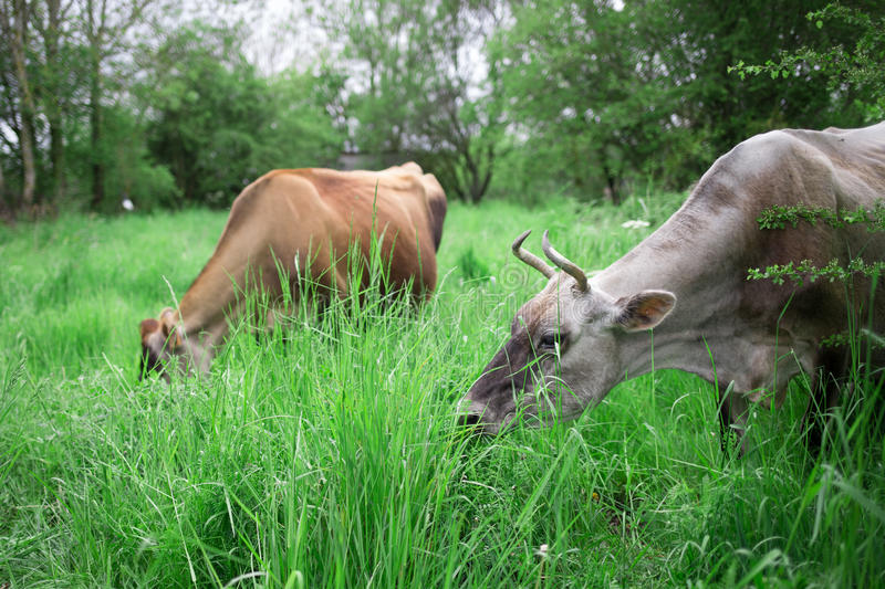 Authentic cows are grazing in a meadow in the countryside. Two authentic cows are grazing in a meadow in the countryside in France royalty free stock photography
