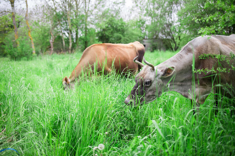 Authentic cows are grazing in a meadow in the countryside. Two authentic cows are grazing in a meadow in the countryside in France royalty free stock photos