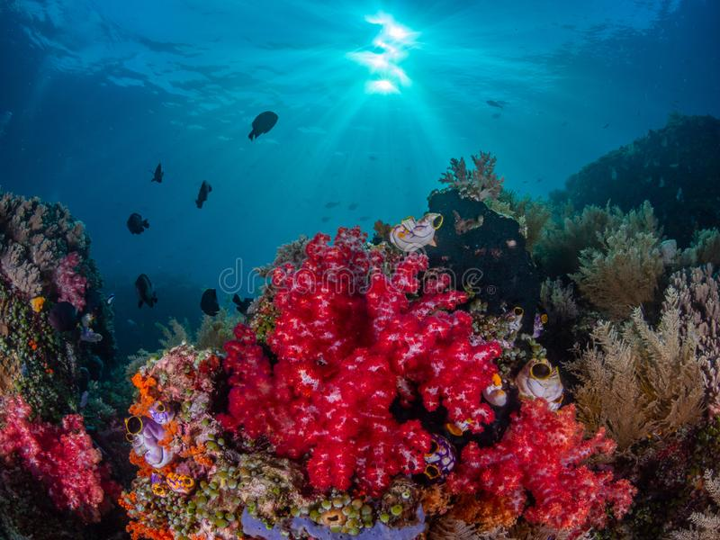 Authentic outstanding natural beauty. Misool, Raja Ampat, Indonesia. The reefs in the Misool Marine Protected Area within Raja Ampat, Indonesia, are the richest royalty free stock images