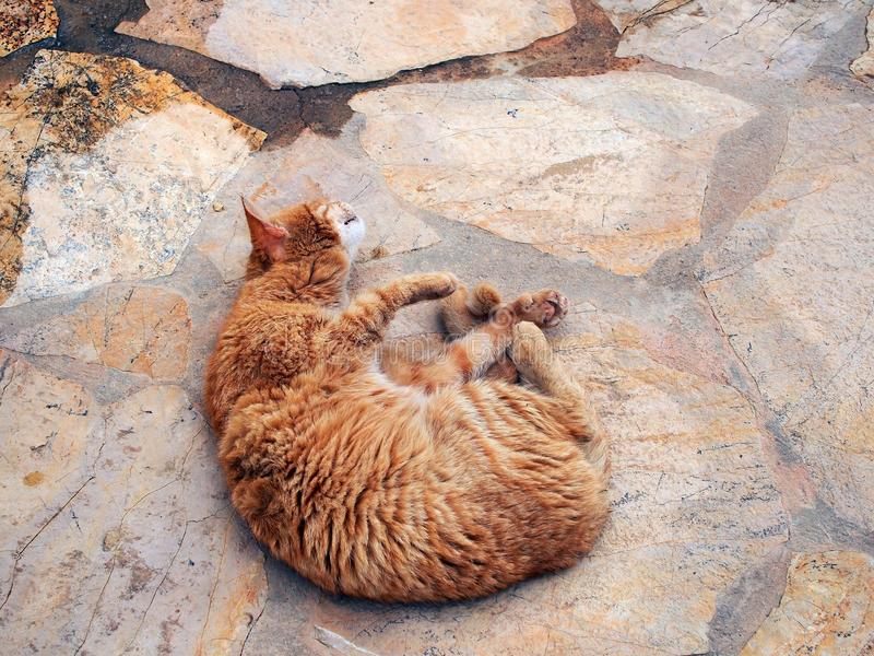 Authentic Ginger Tabby Cat Rolling on Paving Stones royalty free stock photography