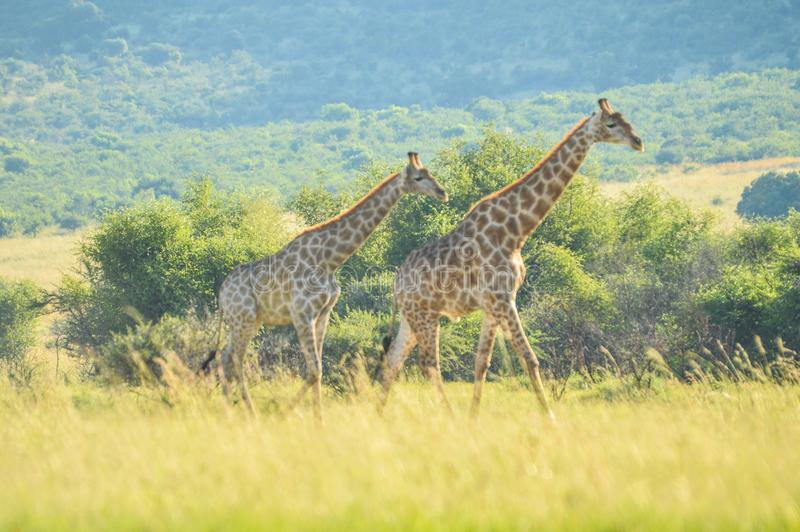 Authentic true South African safari experience in bushveld in a game reserve. Authentic true South African safari experience in bushveld in a nature reserve royalty free stock photography