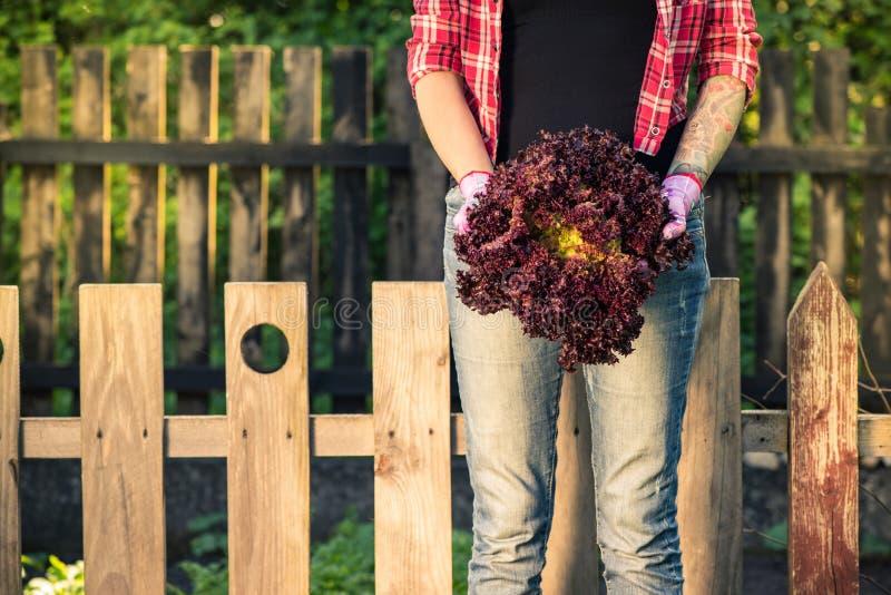Authentieke de greep rode sla van de tuinmanvrouw in tuin stock afbeeldingen