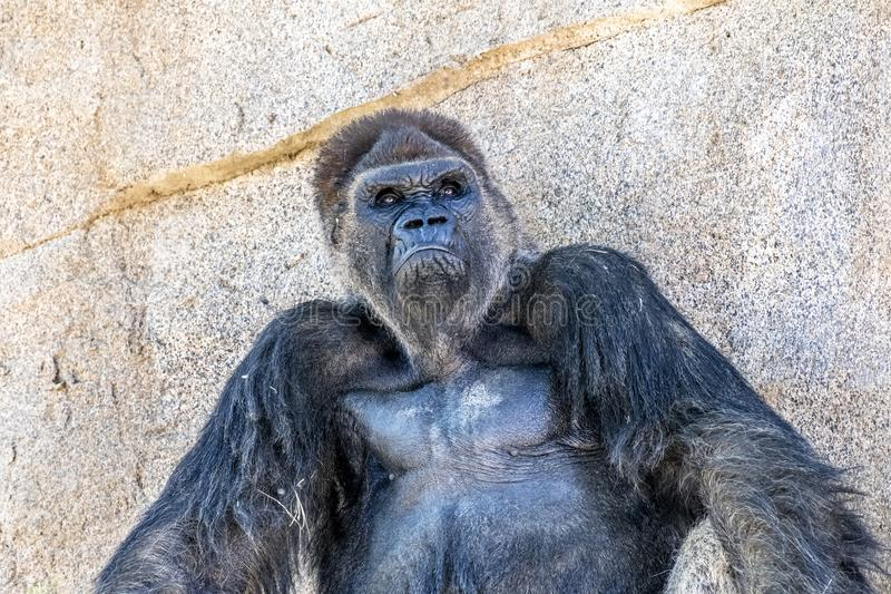 Authoritative Silverback Gorilla. An authoritative, dominant silverback gorilla peers across the expanse to protect his group stock images