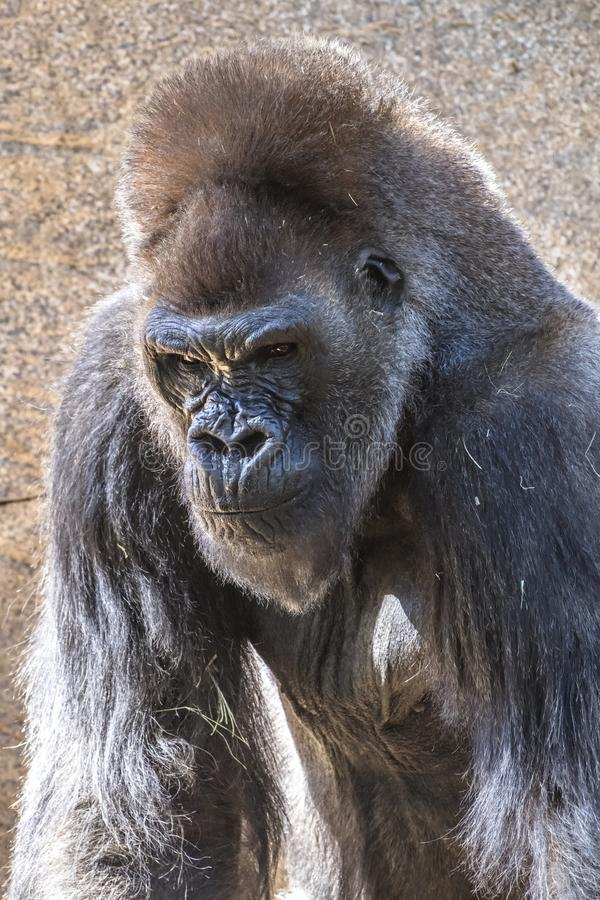 Authoritative Silverback Gorilla. An authoritative, dominant silverback gorilla peers across the expanse to protect his group royalty free stock images